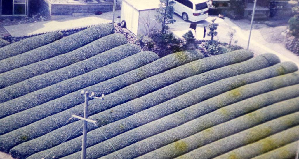 お茶農家時代の茶畑