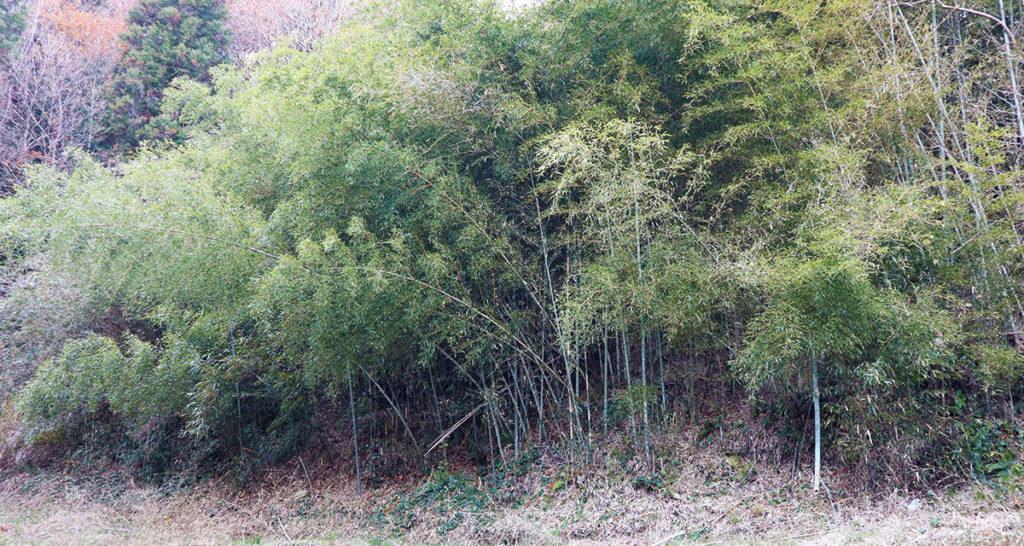 広がる竹害